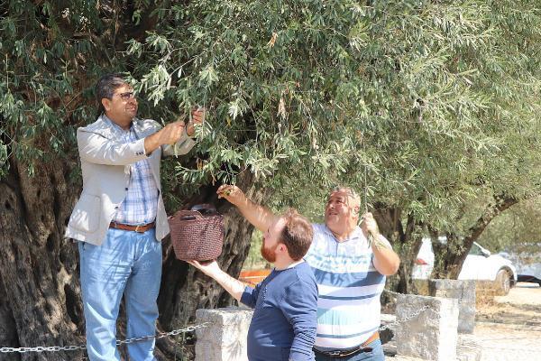 1659 yıllık ağaçtan 200 kilo zeytin toplanacak-yenigun