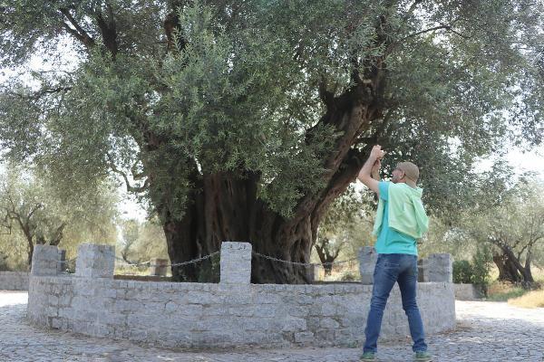 1659 yıllık ağaçtan 200 kilo zeytin toplanacakyenigun gazetesi