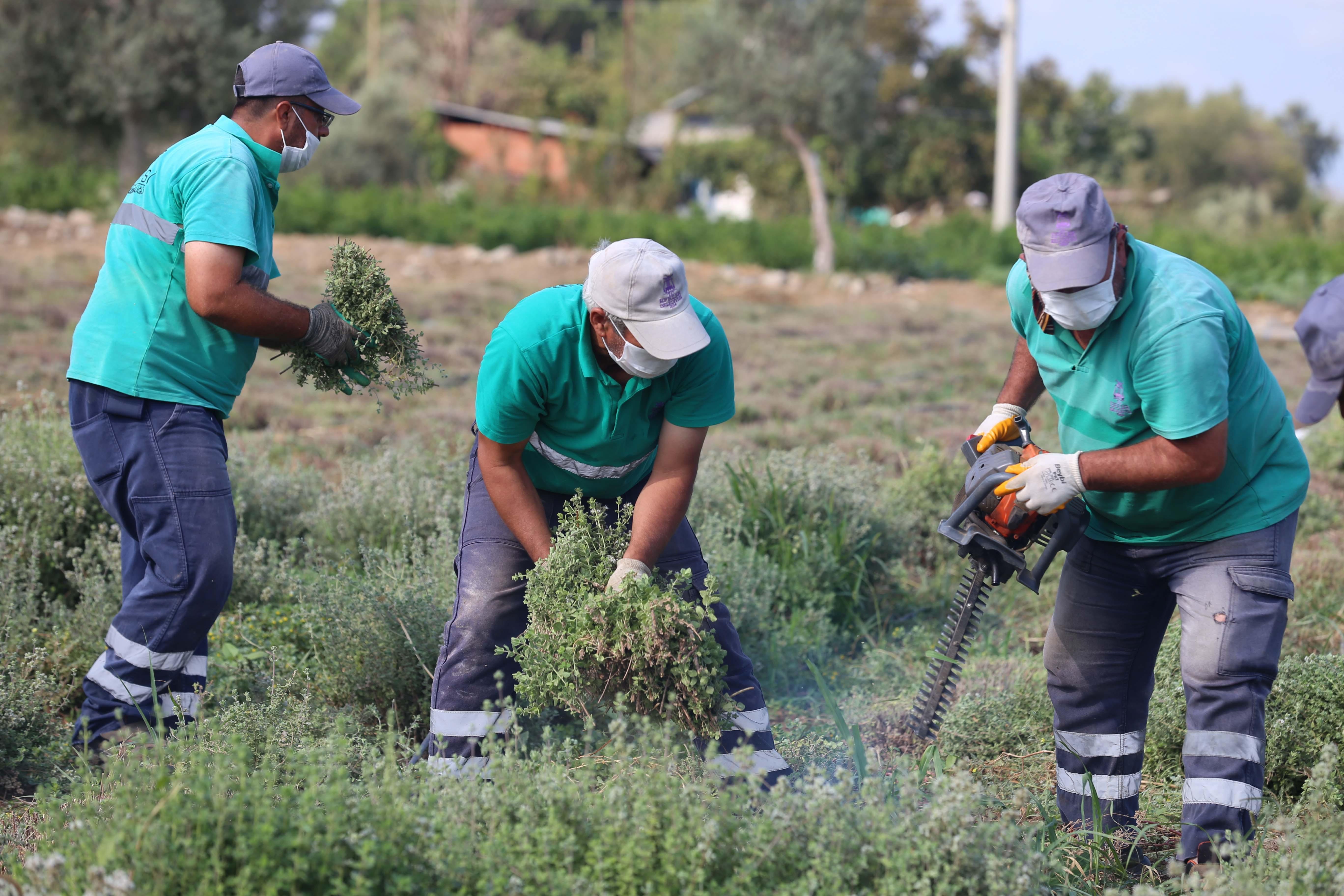 efelerin-sifali-bitkileri-hasat-ediliyor-1-gazete-yenigun-1