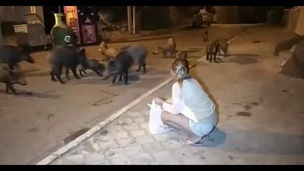 Şehre inen yaban domuzlarını elleriyle beslediler-yenigun gazetesi