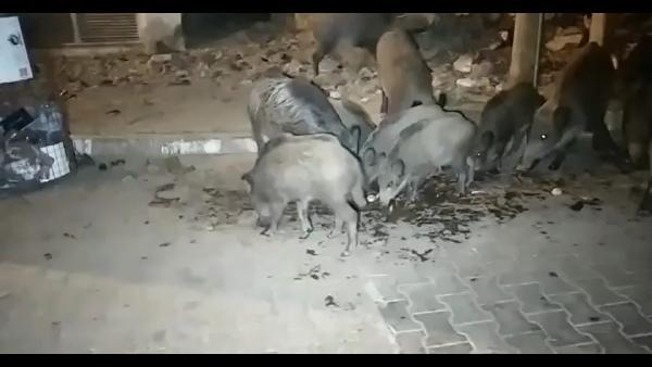 Şehre inen yaban domuzlarını elleriyle beslediler-yenigun